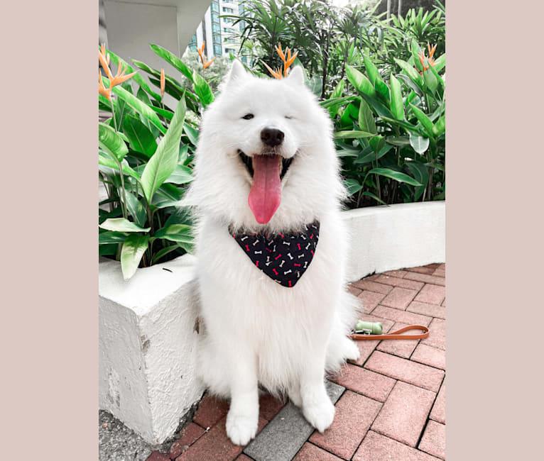 Photo of Ollie, a Samoyed  in Australia