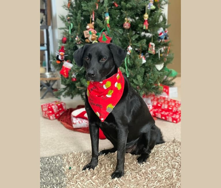 Photo of Layla, a Newfoundland and Rottweiler mix in Detroit, Michigan, USA