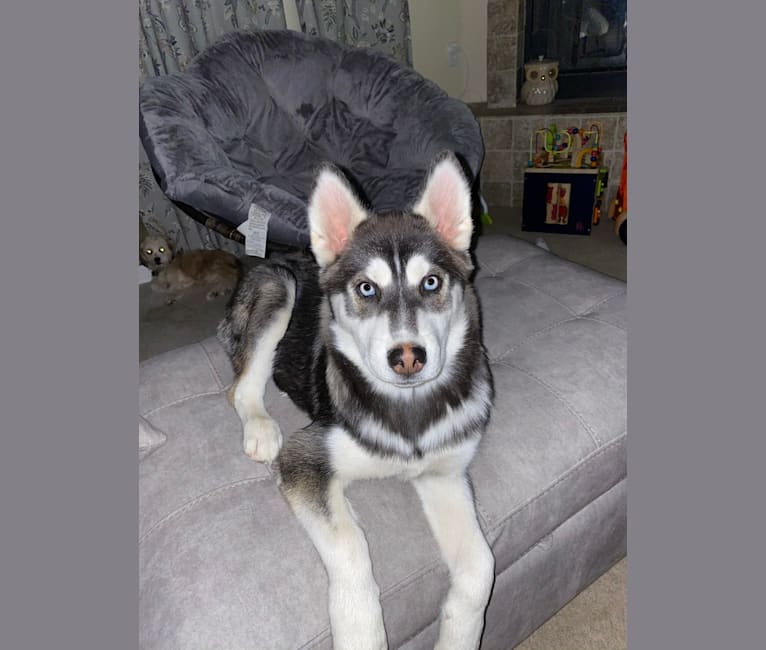 Photo of Shasta, a Siberian Husky  in Murrieta, California, USA