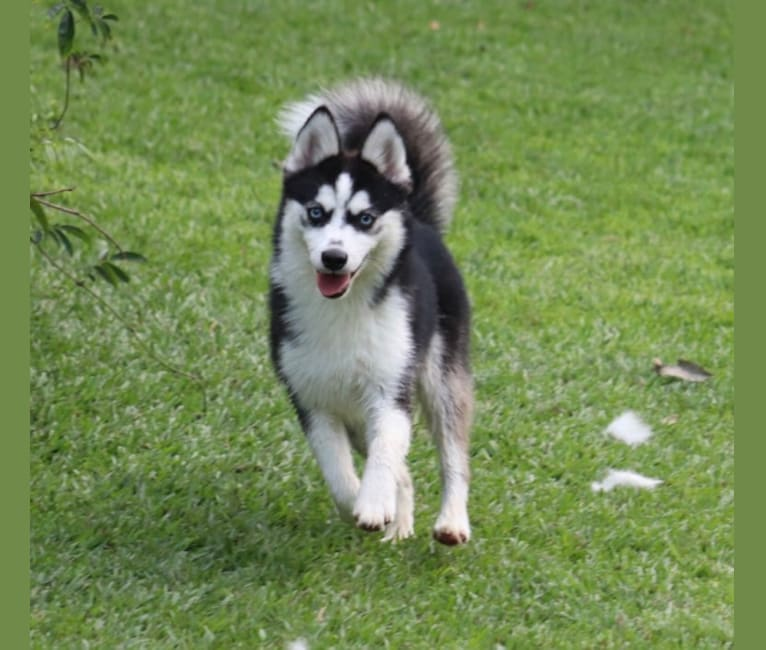 Photo of Ahkeno-F3, a Pomsky  in Saint Francis, MN, USA
