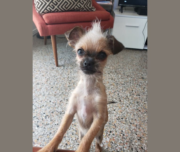 Photo of Niles, a Shih Tzu, Chihuahua, and Mixed mix in St. Petersburg, Florida, USA