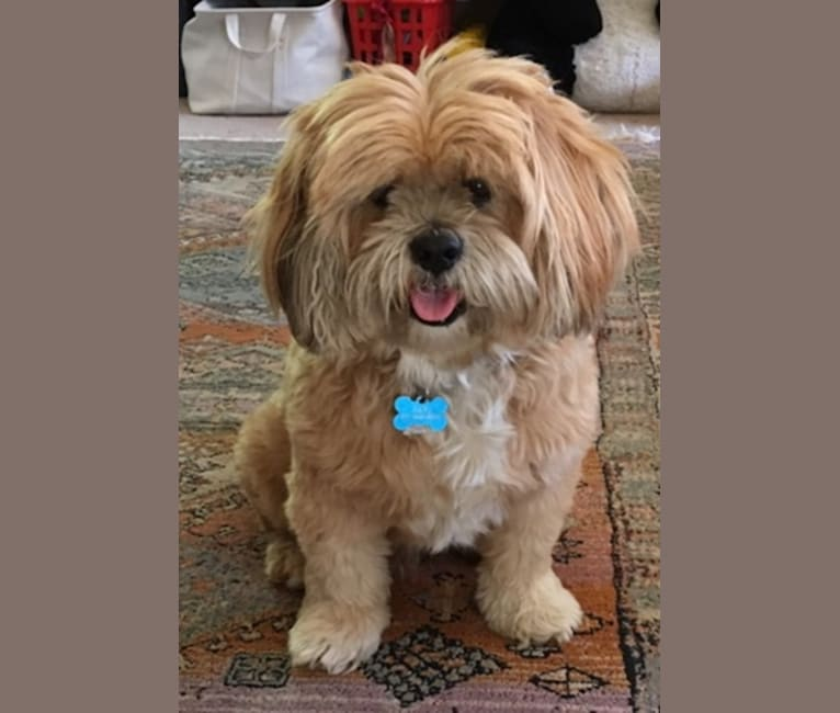 Photo of Rafi, a Lhasa Apso  in California, USA