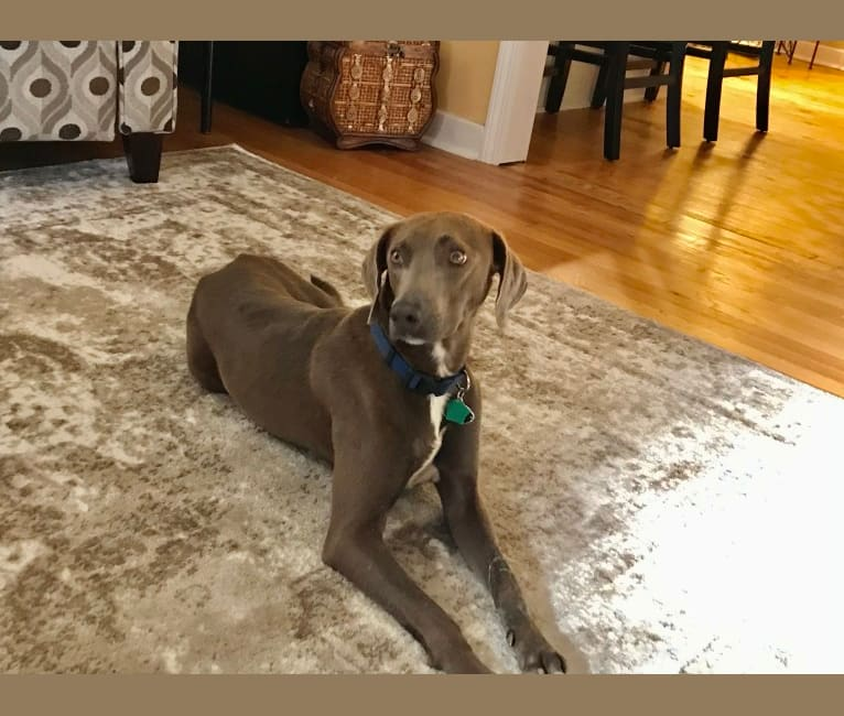 Photo of Zeke, a Blue Lacy  in Brandon, Mississippi, USA