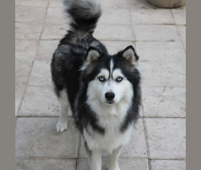 Photo of Miss Maine Aim Piper, a Pomsky