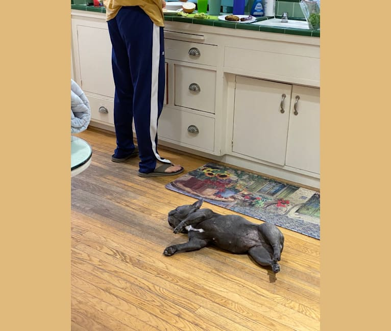 Photo of Ellie Mabel, a French Bulldog  in Poway, California, USA
