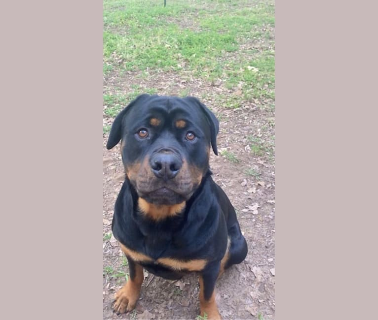 Photo of Lex, a Rottweiler (3.3% unresolved) in Louisiana, USA