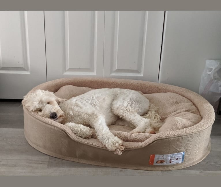 Photo of Scout, a Goldendoodle  in Columbia, Maryland, USA