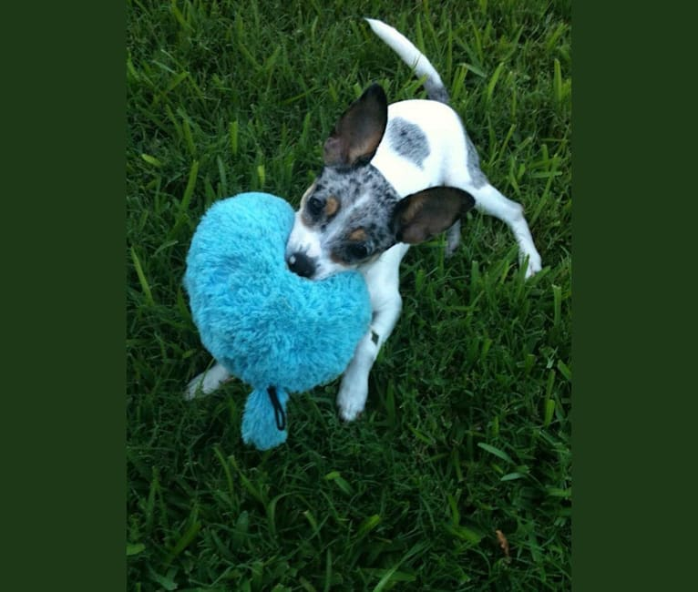 Photo of Bandit, a Rat Terrier, Chihuahua, and Mixed mix in Allen, Texas, USA