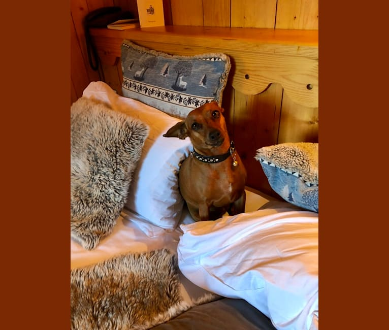 Photo of Zyky, a Prague Ratter and Miniature Pinscher mix in Switzerland