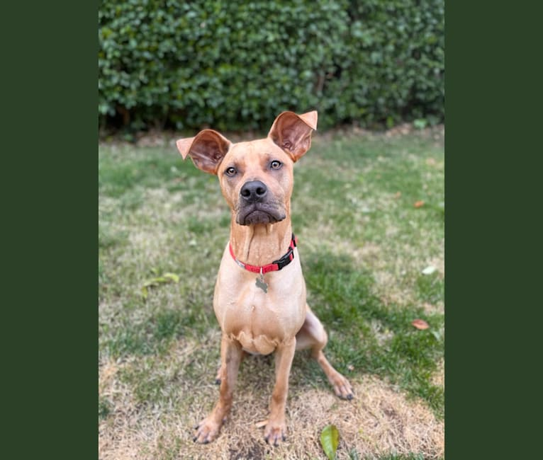 Photo of Wally, an American Pit Bull Terrier, German Shepherd Dog, Chihuahua, and Chow Chow mix in Sacramento, California, USA