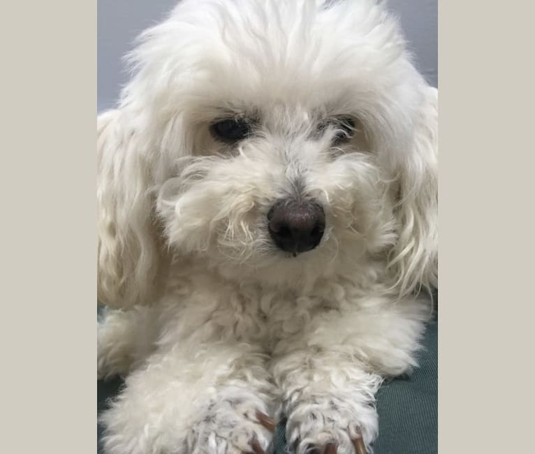 Photo of Madge, a Poodle (Small)  in New York, New York, USA