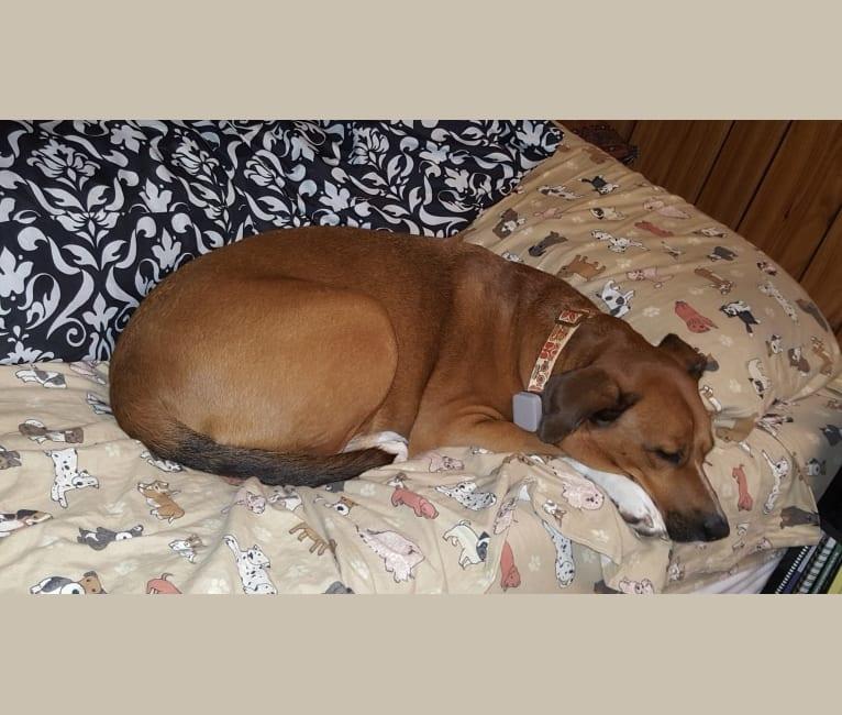 Photo of Hok'ee, a Labrador Retriever, Beagle, Chow Chow, and Mixed mix in South Carolina, USA