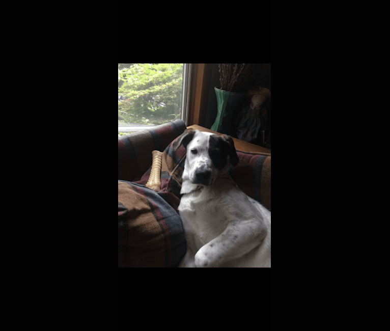 Photo of Toby, an American Pit Bull Terrier, Great Pyrenees, English Shepherd, and American Bulldog mix in Newtown, Connecticut, USA
