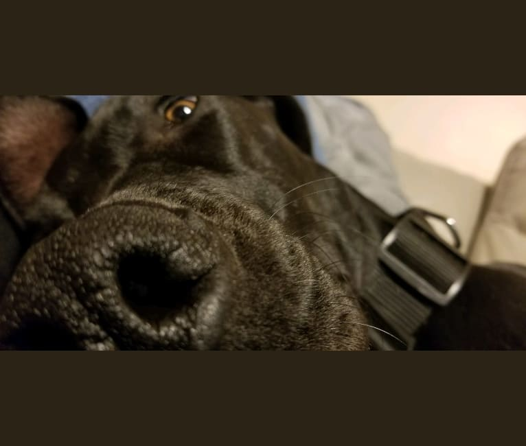 Photo of Winnie, a Great Dane  in Tennessee, USA