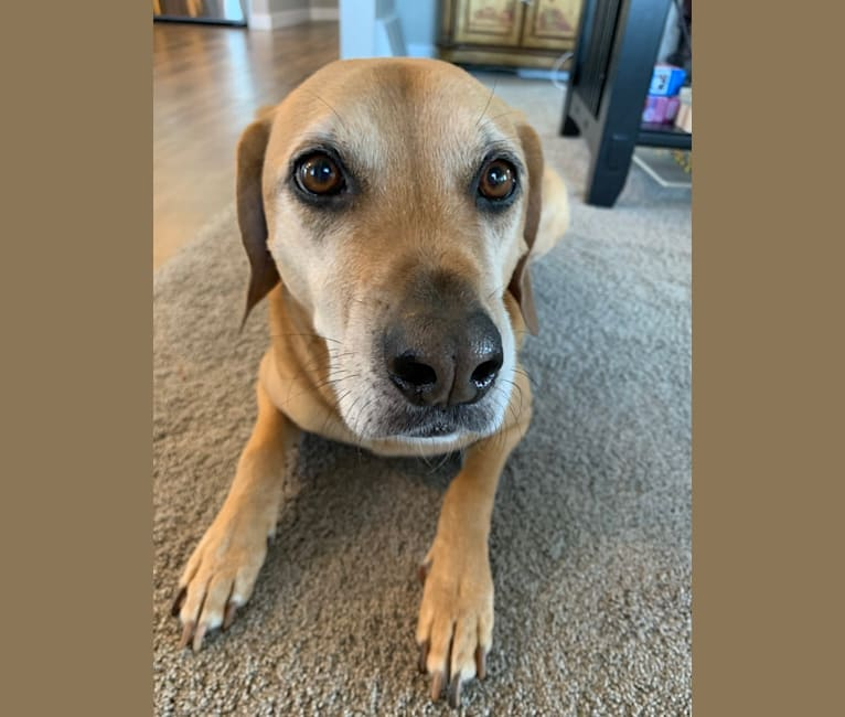 Photo of Harley, a Beagle, American Pit Bull Terrier, Boxer, and Chow Chow mix in Gainesville, Georgia, USA