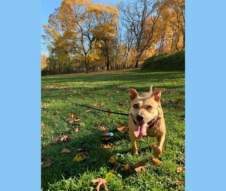 Photo of Winnie, an American Pit Bull Terrier  in Pittsburgh, Pennsylvania, USA