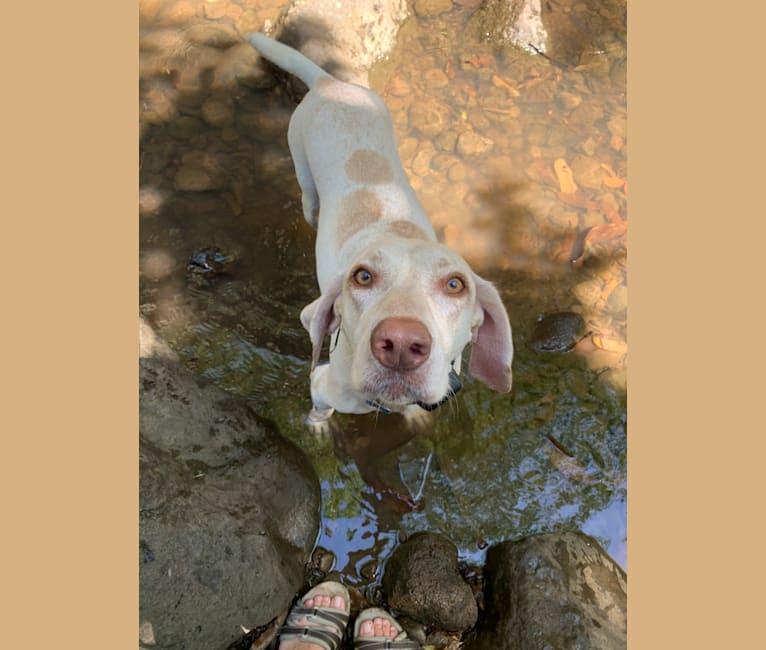 Photo of Luna, a German Shorthaired Pointer  in Hawaii, USA