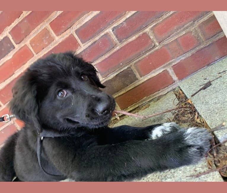 Photo of Mason, a Great Pyrenees, Labrador Retriever, Beagle, and Mixed mix in Boston, Massachusetts, USA
