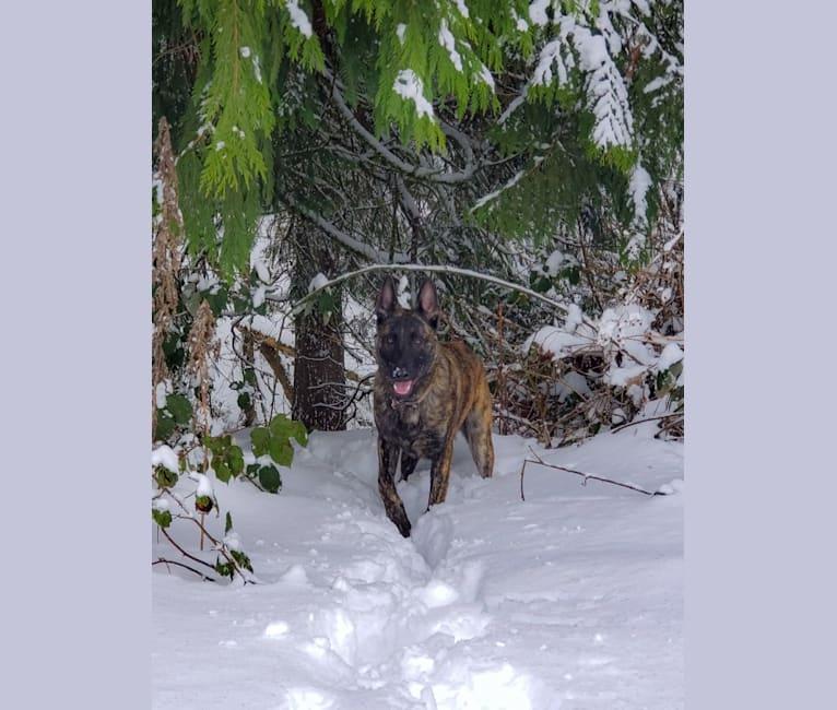 Photo of Kris, a Dutch Shepherd and German Shepherd Dog mix in Molalla, OR, USA