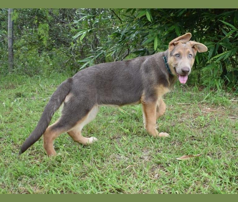 Photo of Bella, a German Shepherd Dog  in 13209 Laguna Road, San Antonio, TX, USA