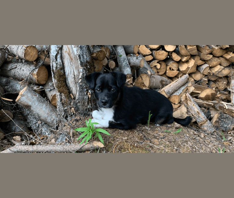 Photo of Bronn, a Poodle (Small), Cocker Spaniel, Shih Tzu, Labrador Retriever, and Mixed mix in Bethel, Alaska, USA