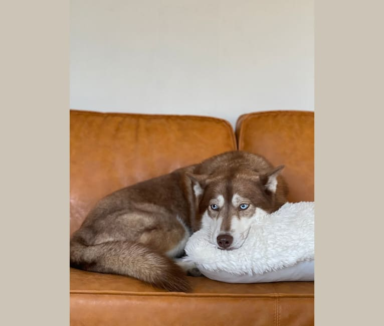 Photo of Asha, a Siberian Husky and German Shepherd Dog mix in Sioux Falls, South Dakota, USA