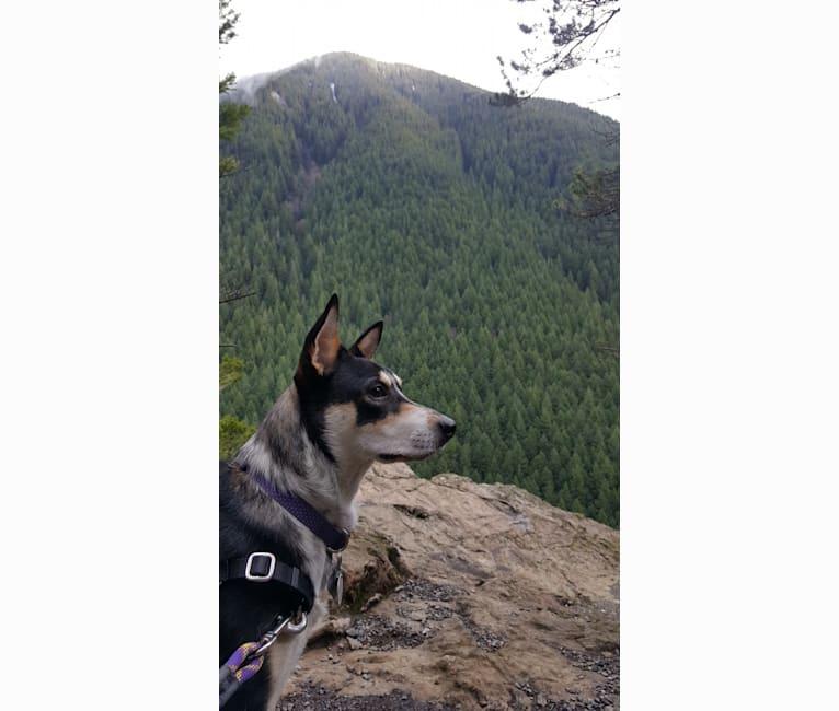 Photo of Penny, an Australian Cattle Dog, Rottweiler, American Pit Bull Terrier, and Australian Shepherd mix in Seattle, Washington, USA