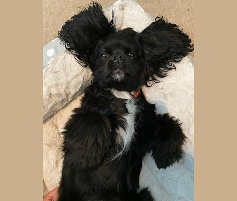 Photo of Pepper, a Cavalier King Charles Spaniel and Cocker Spaniel mix in Mount Vernon, GA, USA