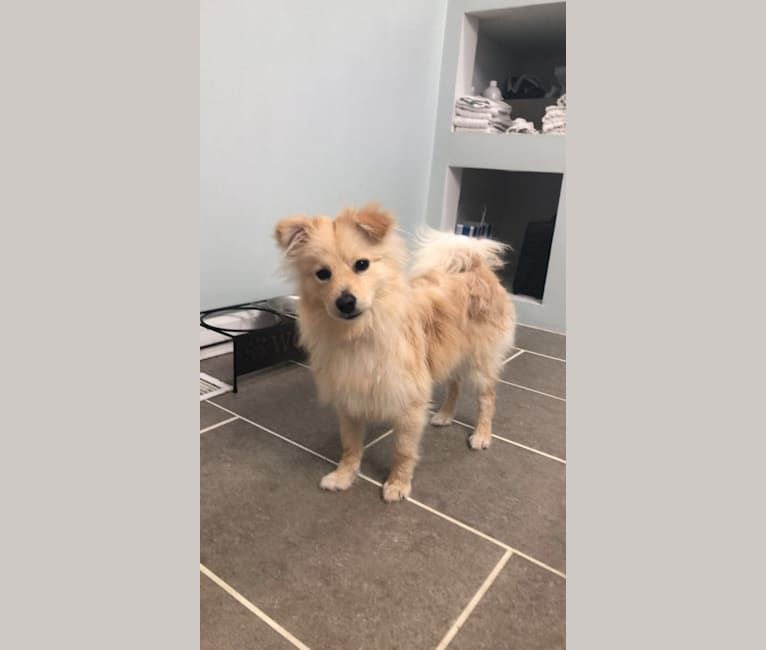 Photo of Simon, a Pomeranian  in Springfield, Nebraska, USA