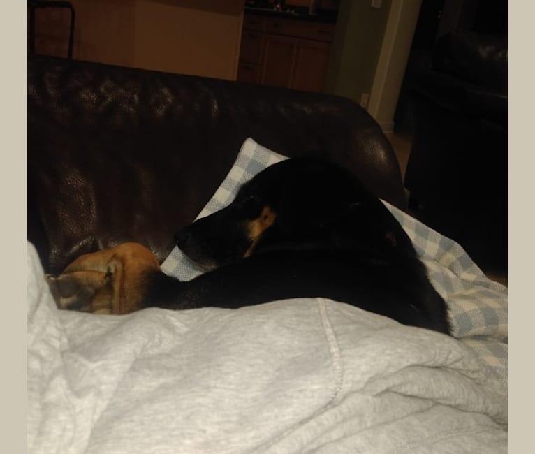 Photo of Lola, a Labrador Retriever, Basset Hound, Australian Cattle Dog, Australian Shepherd, and Mixed mix
