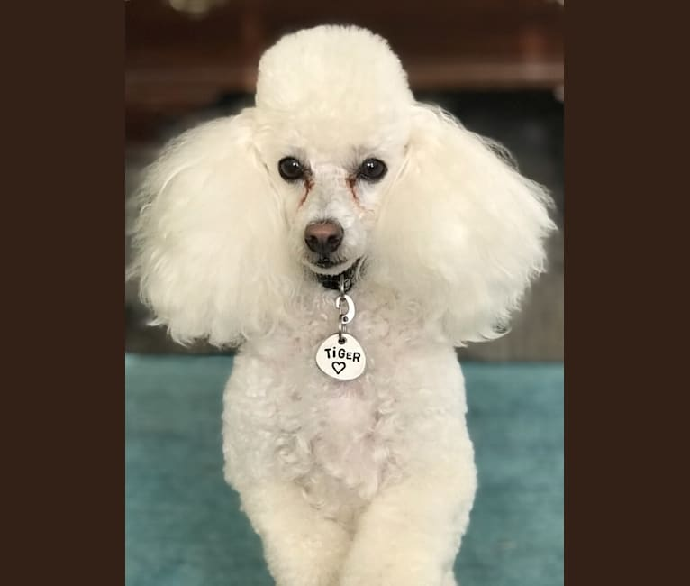 Photo of Tiger, a Poodle (Small)  in Argyle, TX, USA