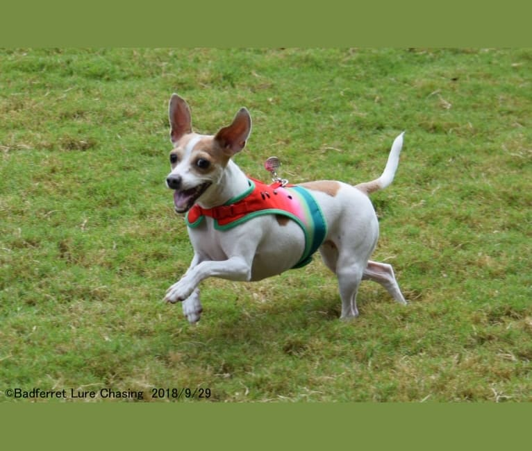 Photo of Neala, a Russell-type Terrier, Chihuahua, Bulldog, Dachshund, and Basset Hound mix in Atlanta, Georgia, USA