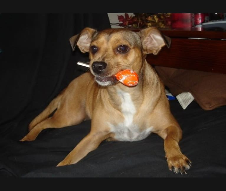 Photo of Alexis, a Miniature Pinscher, Chihuahua, Russell-type Terrier, and Mixed mix in Oakland, California, USA