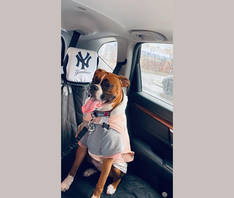 Photo of Bailey Sanchez Batista, a Boxer  in Kirkville, NY, USA