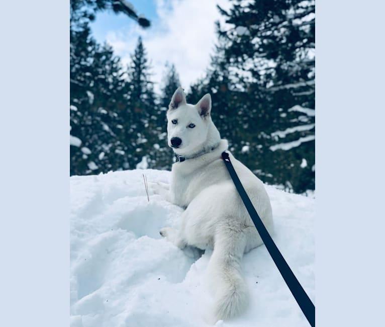 Photo of Blue, a Siberian Husky and Alaskan Malamute mix in Manteca, CA, USA