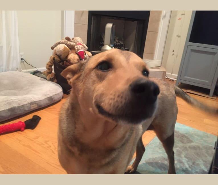 Photo of Chloe, a Chow Chow, Labrador Retriever, German Shepherd Dog, Collie, and Boxer mix in Birmingham, Alabama, USA