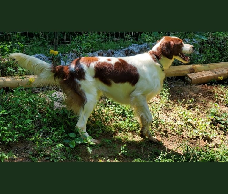 Photo of Evelyn Rose, an Irish Red and White Setter  in Winder, GA, USA