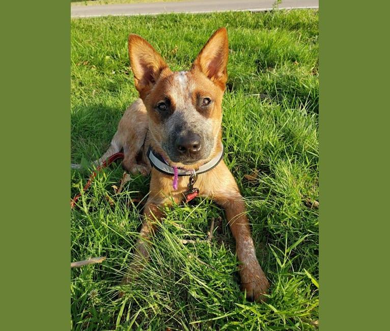 Photo of Delta, an Australian Cattle Dog  in Hillsboro, OH, USA
