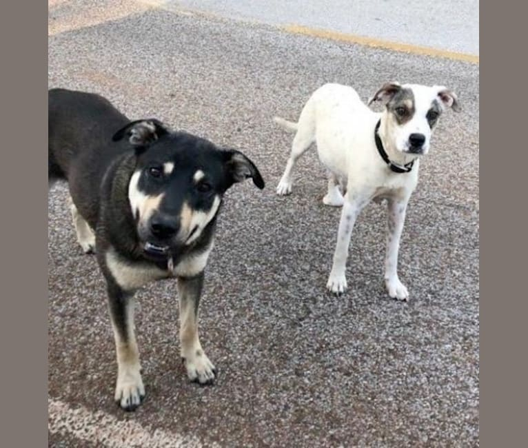 Photo of Tomo, an Australian Cattle Dog, American Pit Bull Terrier, Miniature Schnauzer, and Mixed mix in Texas, USA