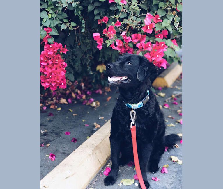 Photo of Kevin, a Poodle (Small), Rat Terrier, German Shepherd Dog, and Mixed mix