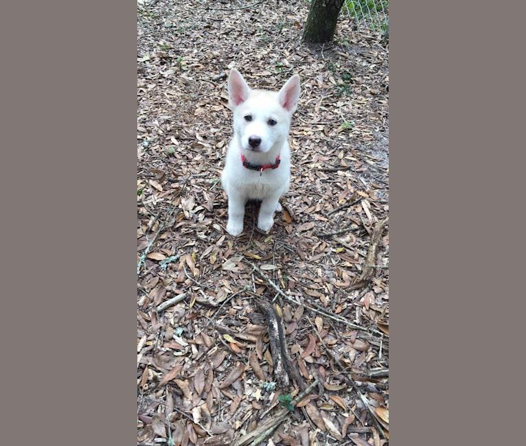 Photo of Shiloh, a Siberian Husky, German Shepherd Dog, and Akita mix