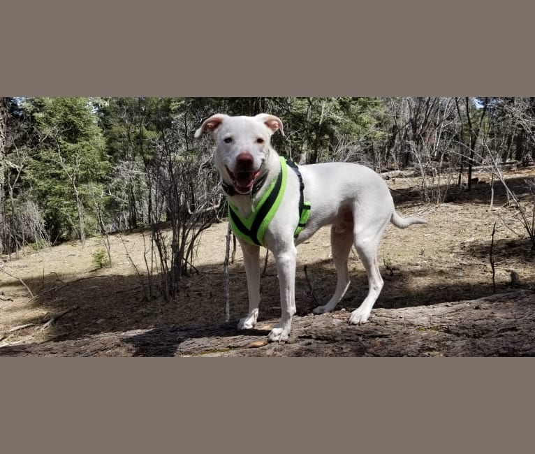 Photo of Rouge, an American Pit Bull Terrier, Border Collie, and Beagle mix in Artesia, NM, USA