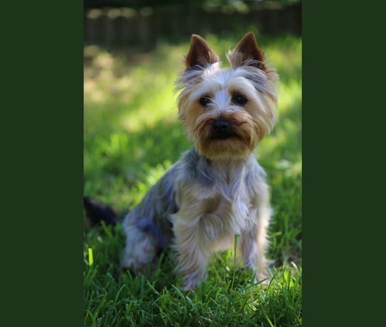 Photo of Bangsi, a Silky Terrier  in Iceland