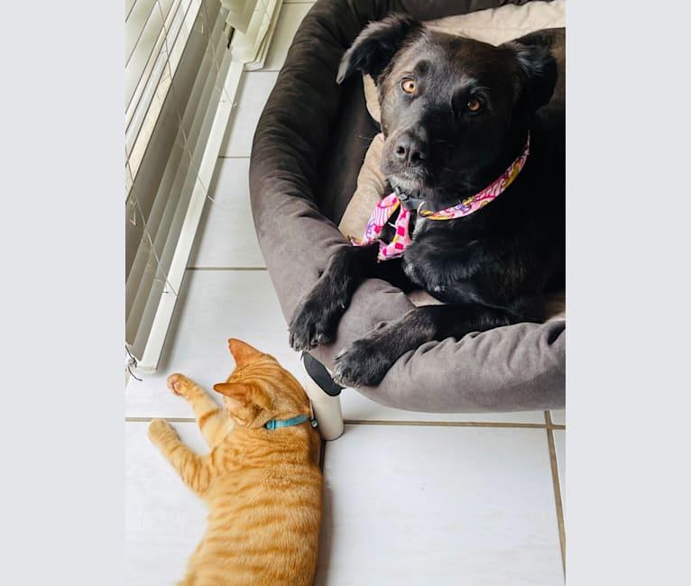 Photo of Luna, a Border Collie, Catahoula Leopard Dog, Saint Bernard, German Shepherd Dog, American Pit Bull Terrier, and Chow Chow mix in Greensboro, North Carolina, USA