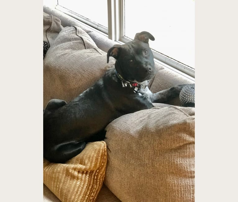 Photo of Talon, an American Pit Bull Terrier and German Shepherd Dog mix