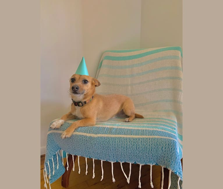 Photo of Dewey Duncan, a Chihuahua, Russell-type Terrier, American Pit Bull Terrier, Miniature Schnauzer, Pekingese, and Mixed mix in St. Thomas, U.S. Virgin Islands