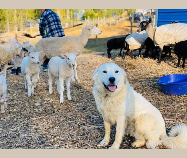 Photo of Calypso, a Great Pyrenees  in West Virginia, USA