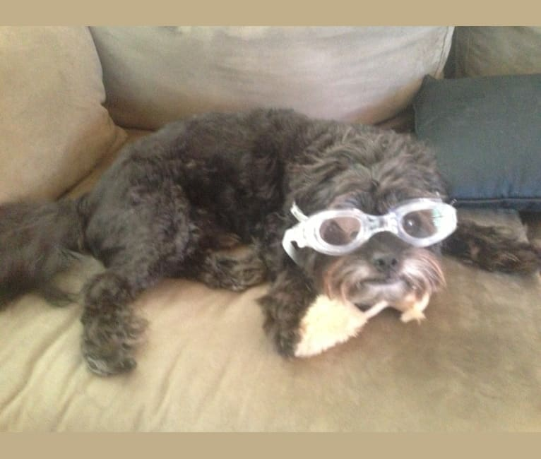 Photo of Sprout, a Poodle (Small) and Shih Tzu mix in Fresno, California, USA
