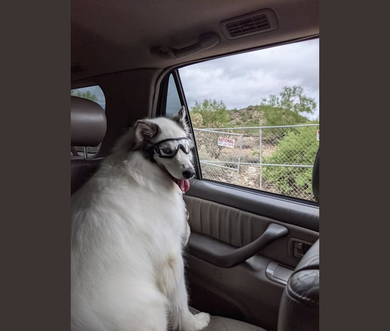 Photo of Duke, a Siberian Husky, Alaskan Malamute, and Samoyed mix in Nogales, Sonora, Mexico