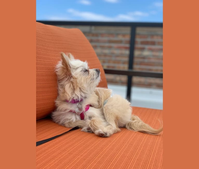 Photo of Lily, a Pomeranian, Bichon Frise, and Poodle (Small) mix in Wisconsin, USA